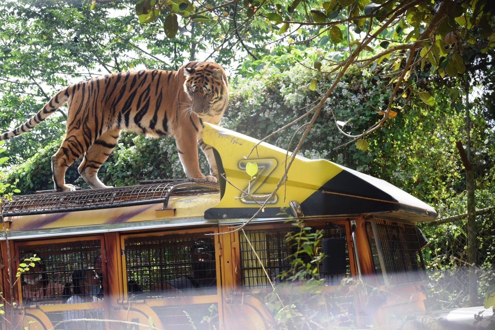 Tiger safari tour bus