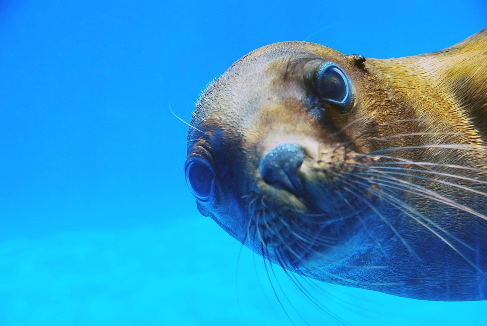 Sea lion looking at camera